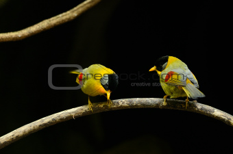 male and female silver-eared mesia