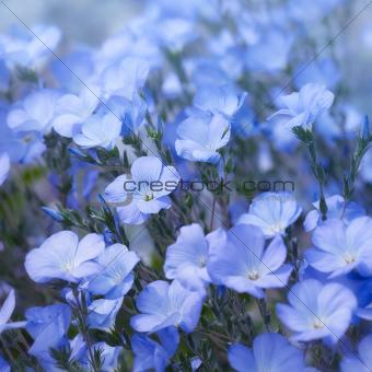 Flax Flowers