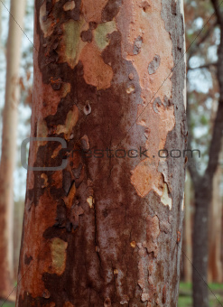 spotted gum tree trunk with bark