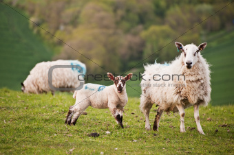 Spring lamb and ewe in rural farming landscape
