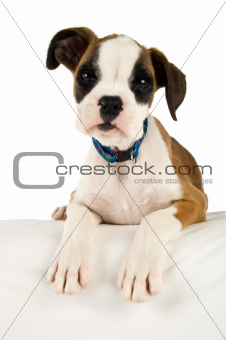 Boxer puppy laying on a white bean bag isolated on a white background