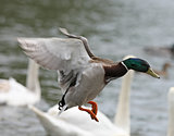 Mallard Duck