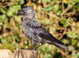 Jackdaw