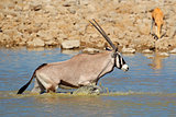 Gemsbok in water