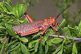 Pyrgomorphid grasshopper