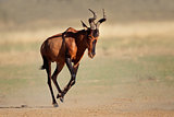 Running red hartebeest