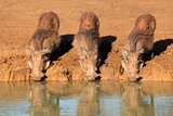 Warthogs drinking