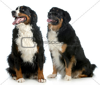 two big dogs