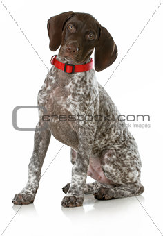 german short haired pointer puppy