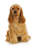 cocker spaniel