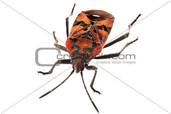 Black and Red Ground bug species Spilostethus pandurus