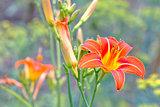 flower Daylily