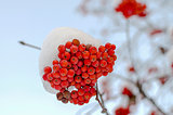 Rowanberry under the snow