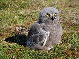 snowy owl chick (Bubo scandiacus)