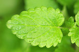 Mint leaf (herb)