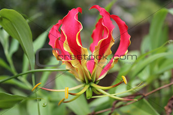 Flame lily flower