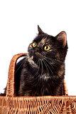 Portrait a cat in a wattled basket