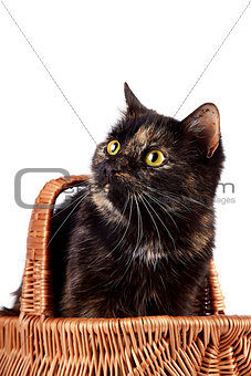 Portrait a cat in a wattled basket