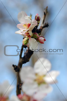 almond tree bud and flower
