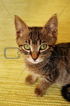 gray kitten on yellow background