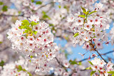 white blossom in spring 