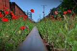 Poppies on railway