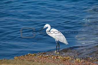 Heron walking along-shore