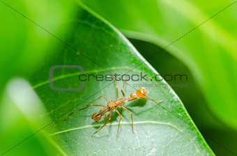 Ant mimic spider - male