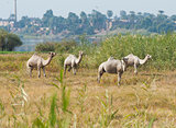 Dromedary camels in a meadow on riverbank