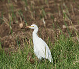 Cattle egret stood in grass