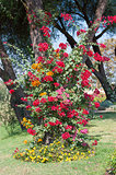 Bougainvillea bush growing up tree