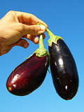 eggplants in hand