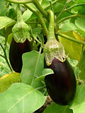eggplant