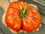 giant beef tomato