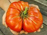 giant beef tomato