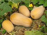 butternut squashes