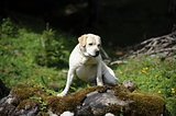 labrador on a trunk