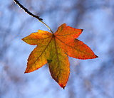 Autumn Leaf Backlit