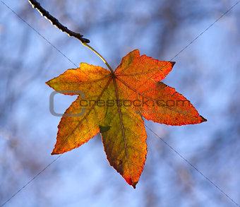 Autumn Leaf Backlit