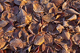 Beech Leaves and Frost