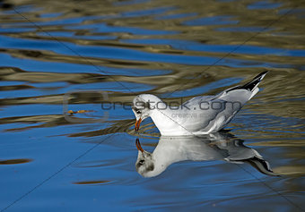 Black-headed Gull Reflected