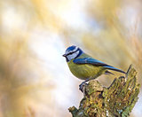Blue Tit on Stump
