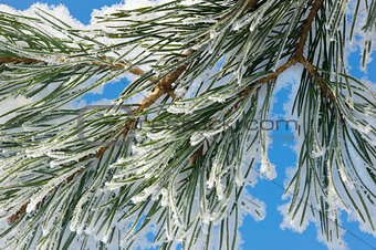 snow and pine branch against blue sky background