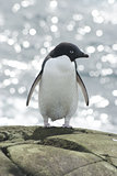 Adelie penguin on sea background.