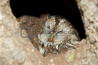 Grey Owl in hollow tree.