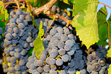 Grapes in a vineyard in Italy