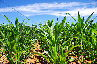 Green cornfield at south of Portugal