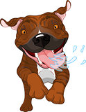 Excited brindle Pit Bull Dog