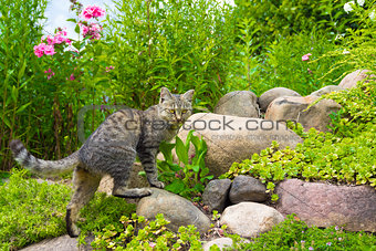 The cat hunts on stones