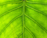 yam leaf background